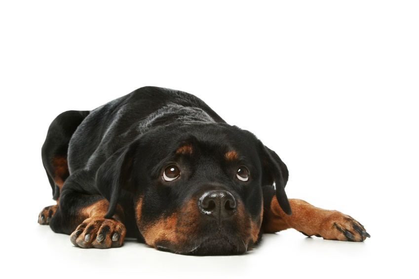 Sad Rottweiler on a white background